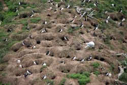 Puffins at Witless Bay Island Reserve