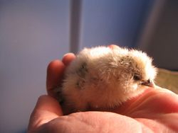 Just out of the Brooder