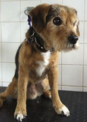 Buster - Terrier spaniel x