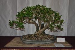 Muraya paniculata