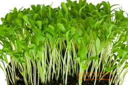 CILANTRO microgreens, seed leaf stage