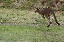 Kangaroo near Sydney
