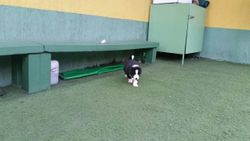 Polo Best Border Collie - DISPONIVEL - (11) 99201-1821 whats
