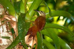 Arapacu-de-garganta-branca - Arapacu (Xiphocolaptes albicollis)