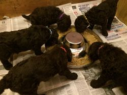 First puppy food mush meal...everyone loved it!  30 days old.