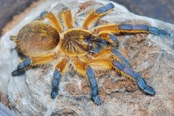 Harpactira pulchripes juvenile female
