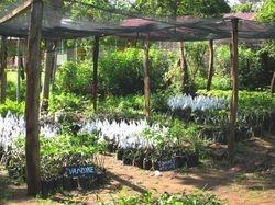 Grafted mango seedlings