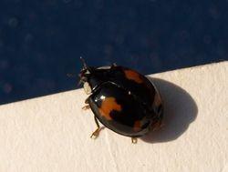unusual ladybird