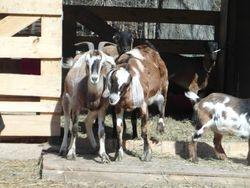 Goats watching!