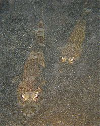 Fringelip Flathead