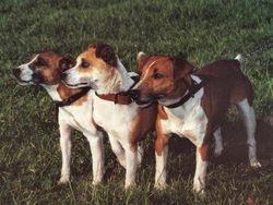 Plummer Terrier.