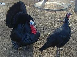 Black gobbler and hen
