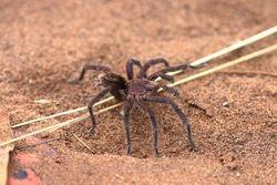 Aranha ( Lasiodora sp )