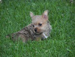 Pepper's Puppy