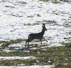 Roe buck (Denmark)