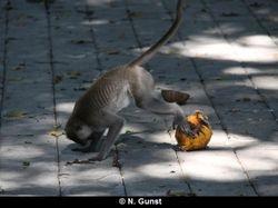 Coconut playing (Pulaki)