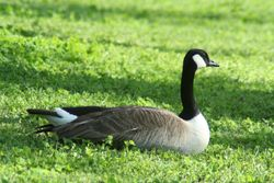 A visiting Canadian goose