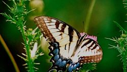 Butterfly Again