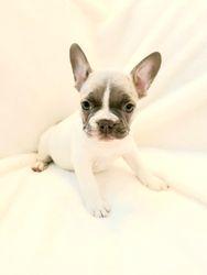 AKC Silver: Blue Eyes Lilac Pied, Male Frenchie. $3000.00