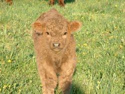 Oneida's bull