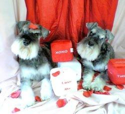 Valentine Schnauzers