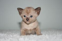 1 month old Brown Mink Boy