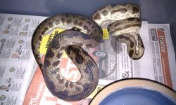 Maculosus - Female - Adult Breeder #2