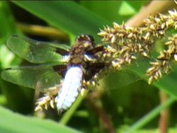 broad bodied chaser - Dragonfly