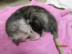 Sleepy opossum