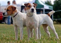 Rough/Broken Coated Jack Russell Terrier.