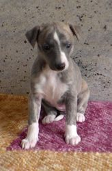 Blue/fawn girl at 5 weeks old