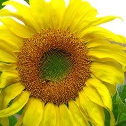 "Sunshine Bee #1 - 20"" x 20"""