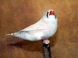 Marked White Hen
