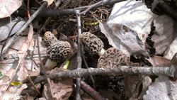 Nice bunch of morels (morchella esculenta)
