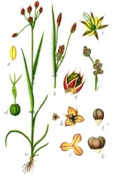 Pellitory of the wall Illustration