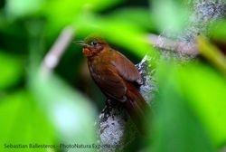 Santa Marta foliage-gleaner / Automolus rufipectus