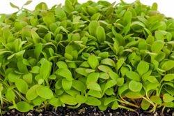Polygonaceae Family -  SORREL, 18 days since sown