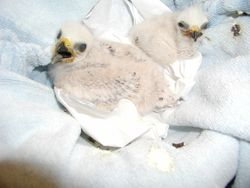 Two Mississippi Kite chicks