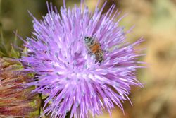 Bee in the Purple