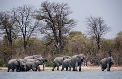 Elephants in Savuti