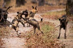 Wild dogs play