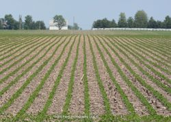 Bean Field Rows