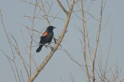 Red-shouldered Blackbird