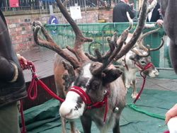 Reindeers at Christmas!