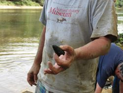 A nice Deinosuchus tooth found on our Cape Fear River Trip.
