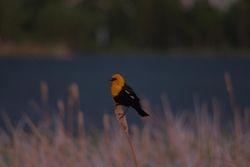 Yellow Breasted Blackbird 2