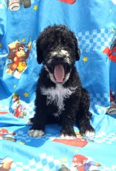 Buster:  $1195, male Airedoodle, born on 4-21-17, pics on 5-29-17, Mother is a Giant Airedale, father is a Royal Standard Poodle, 2 year health guarantee, home raised, care recommendations, Reunite Microchip, lifetime support, and more