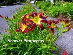 Scarlet Pimpernel