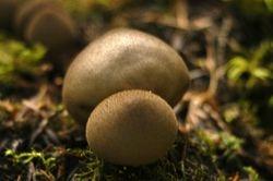 Lycoperdon foetidum
