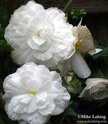 Double White Begonia's